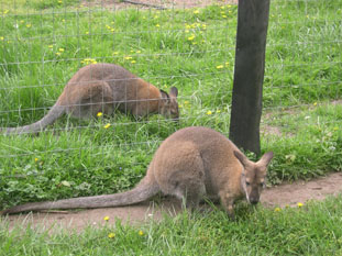 Welcome To Fall City Wallaby Ranch!